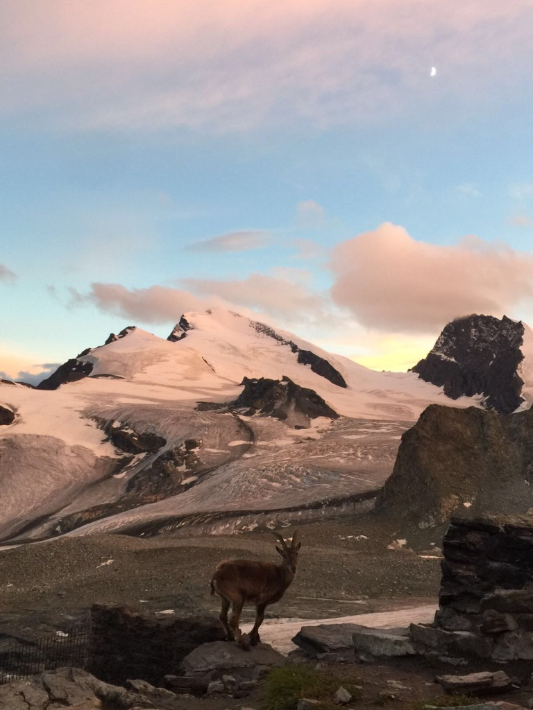 An Alpine ibex enjoys the evening mood in front of Strahlhorn